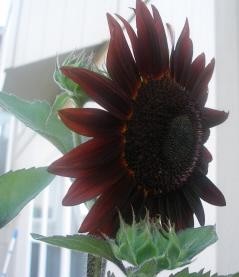 sunflower-2-from-jan-cropped-blog-sized.jpg