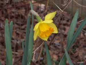 daffodil-solitary-feb-25th