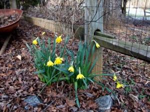 daffodils-for-mom-feb-25th