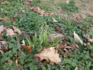 lily-sprouting-feb-25th1