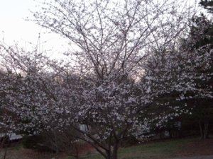 cherry-tree-blooming-at-dus