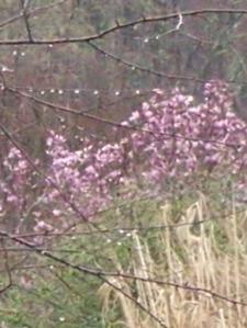 Neighbor's Magnolia