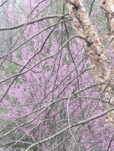 Redbud peeking through Birch tree