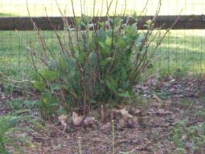 Looks like the hydrangea survived it's transplant too!