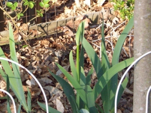 The iris is thriving after last falls transplant. Wonder what color this will be?