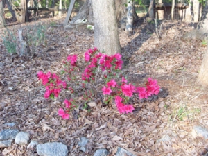 I really don't know how this azalea survives up on the hill under the big oaks, but isn't it pretty?