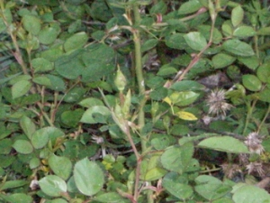 All the wild roses are setting buds now!