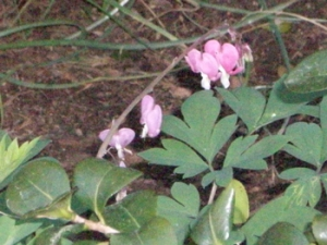 Every year this bleeding heart makes a brief appearance before the summer heat beats it down.
