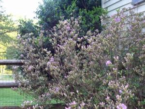 april-25th-lilac-azalea