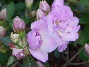 april-25th-lilac-closeup-az