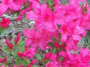 april-25th-pink-azalea