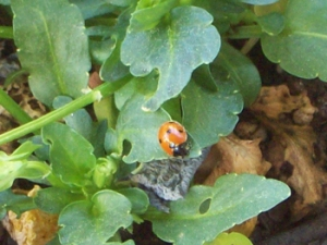 april-27th-ladybug-001