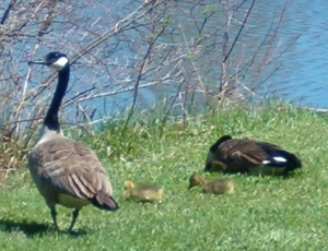 Geese-and-babies