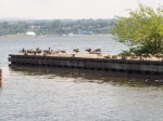 Canada geese take over a dock